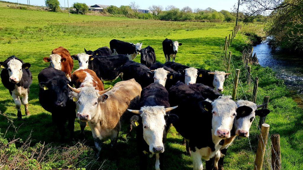 Lockdown Life Cows