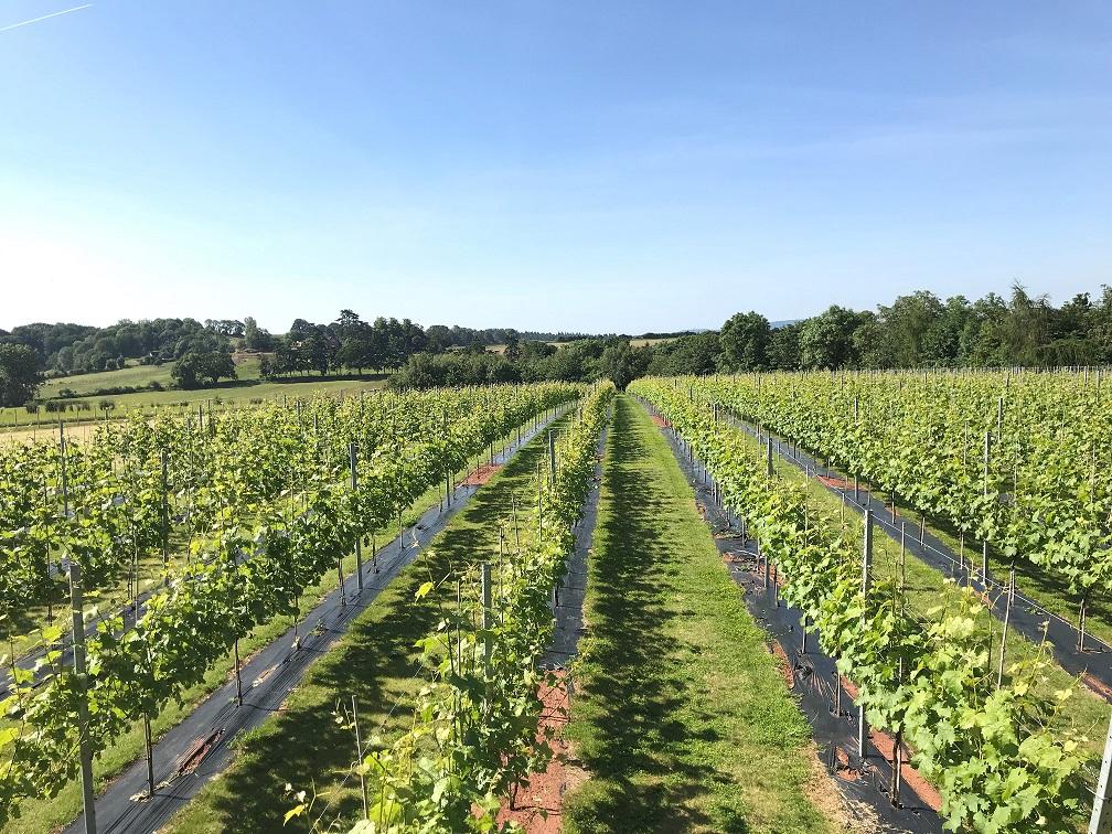 Foxbury Fields Vineyard. Wye Life